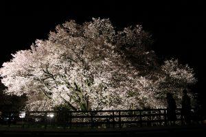 ライトアップされた一心行の大桜