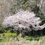 江津湖の桜が満開です